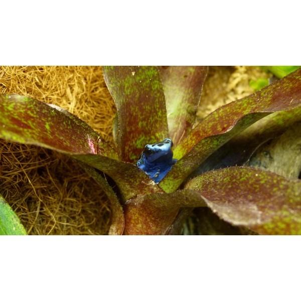 Dendrobates azureus se prélassant dans un Neoregelia atlantis.