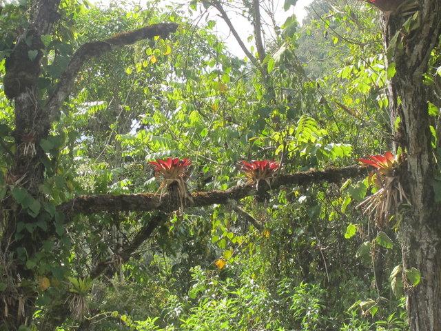 broméliacées péruviennes