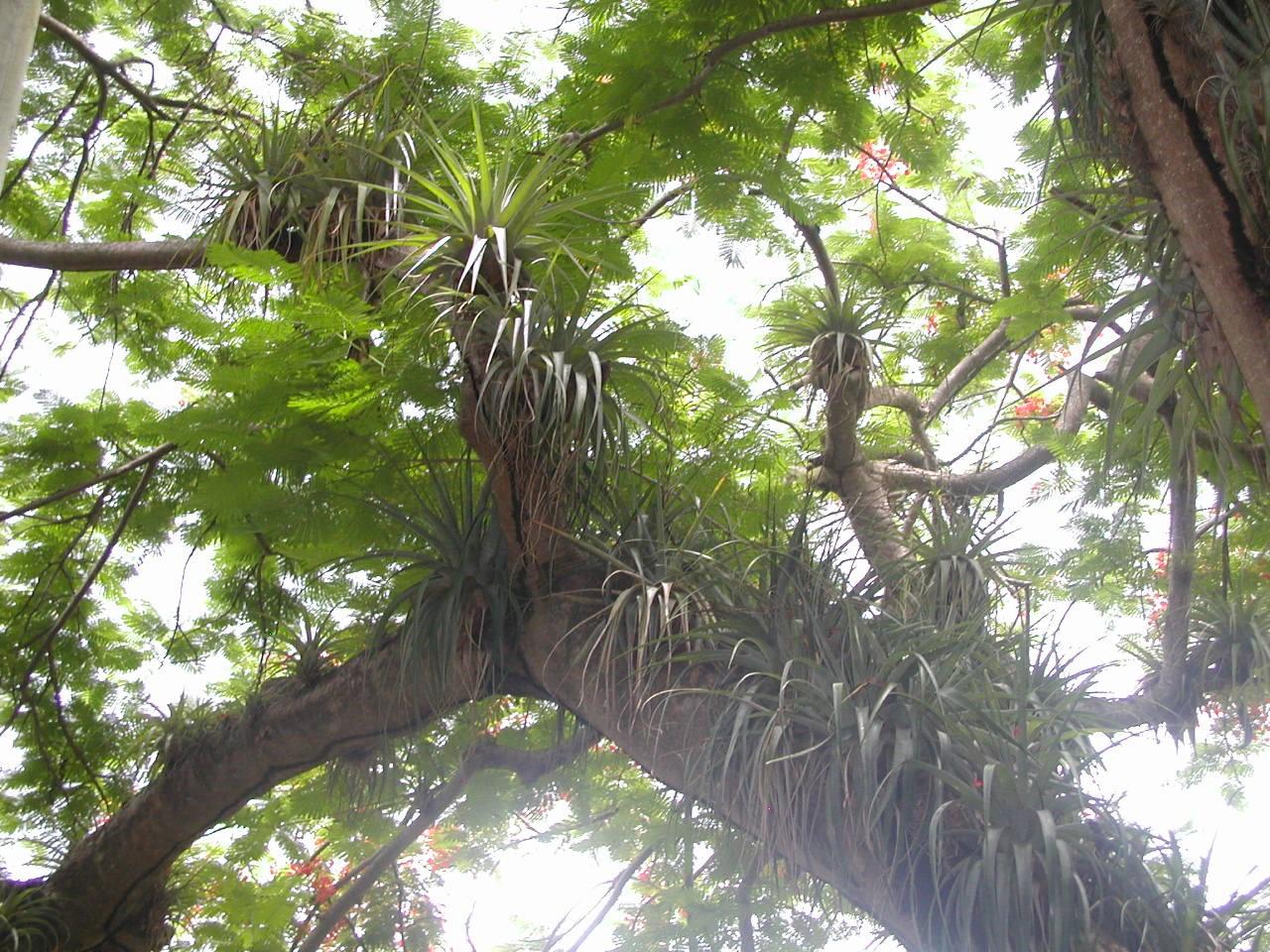 Forêt humide de Guadeloupe : Notez la quantité de Broméliacées se trouvant sur la même branche de flamboyant ! L'arbre est en pleine santé, on observe même sa floraison rouge à travers la canopée.