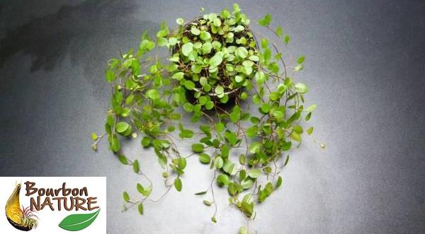 Muehlenbeckia complexa plante rampante dendrogrove for Plante rampante