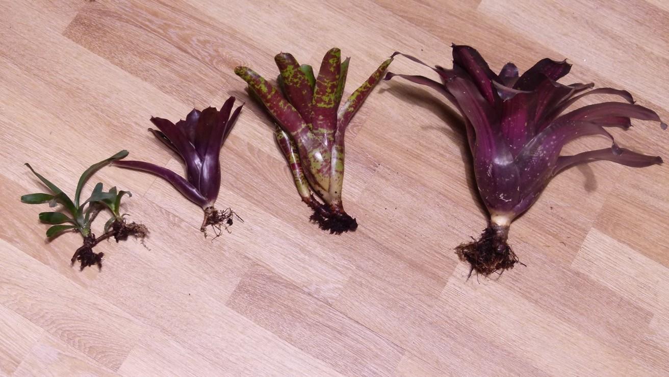 De gauche à droite, Neoregelia liliputiana, N.Super Fireball, N.Betty Head, N.Margaret. Notez les différences de tailles, de formes et surtout de couleurs des feuilles.