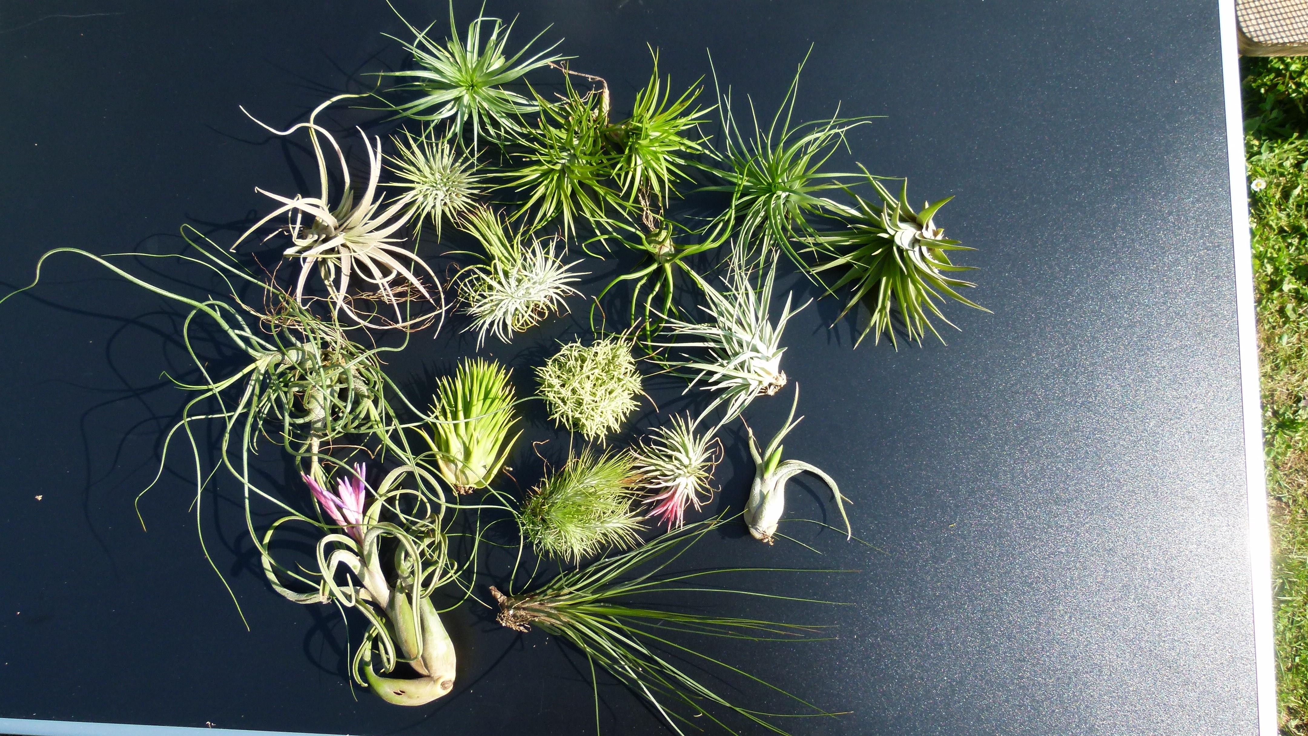 Exemple de plusieurs espèces de Tillandsias de climat humide