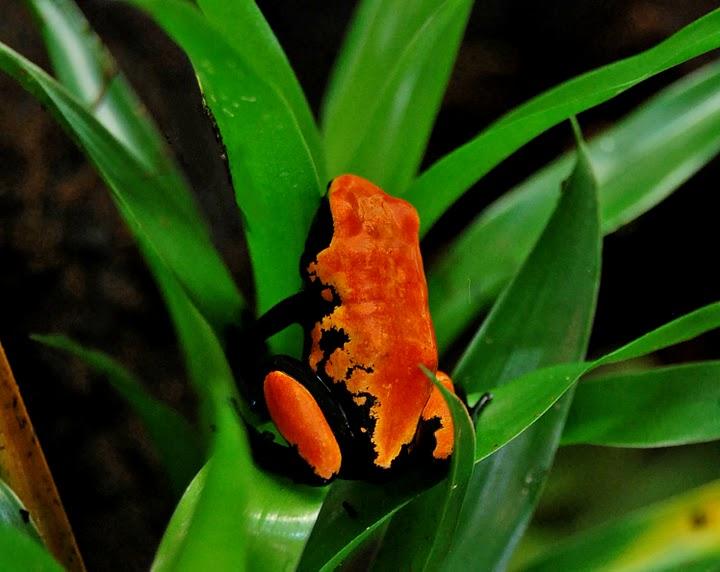 adelphobates-galactonotus